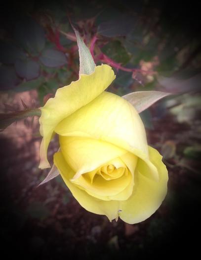 Yellow Rose Zoom Burst MM